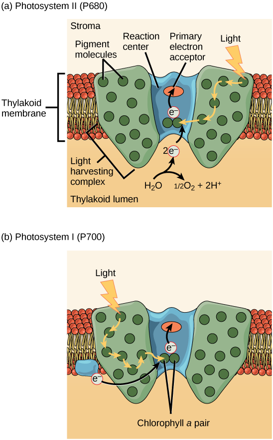 Illustration a shows the structure of PSII, which is embedded in the thylakoid membrane. At the core of PSII is the reaction center. The reaction center is surrounded by the light-harvesting complex, which contains antenna pigment molecules that shunt light energy toward a pair of chlorophyll a molecules in the reaction center. As a result, an electron is excited and transferred to the primary electron acceptor. A water molecule is split, releasing two electrons which are used to replace excited electrons. Illustration b shows the structure of PSI, which is similar in structure to PSII. However, PSII uses an electron from the chloroplast electron transport chain also embedded in the thylakoid membrane to replace the excited electron.