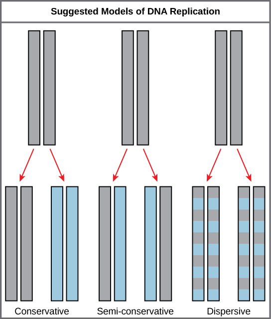 The three suggested models of DNA replication