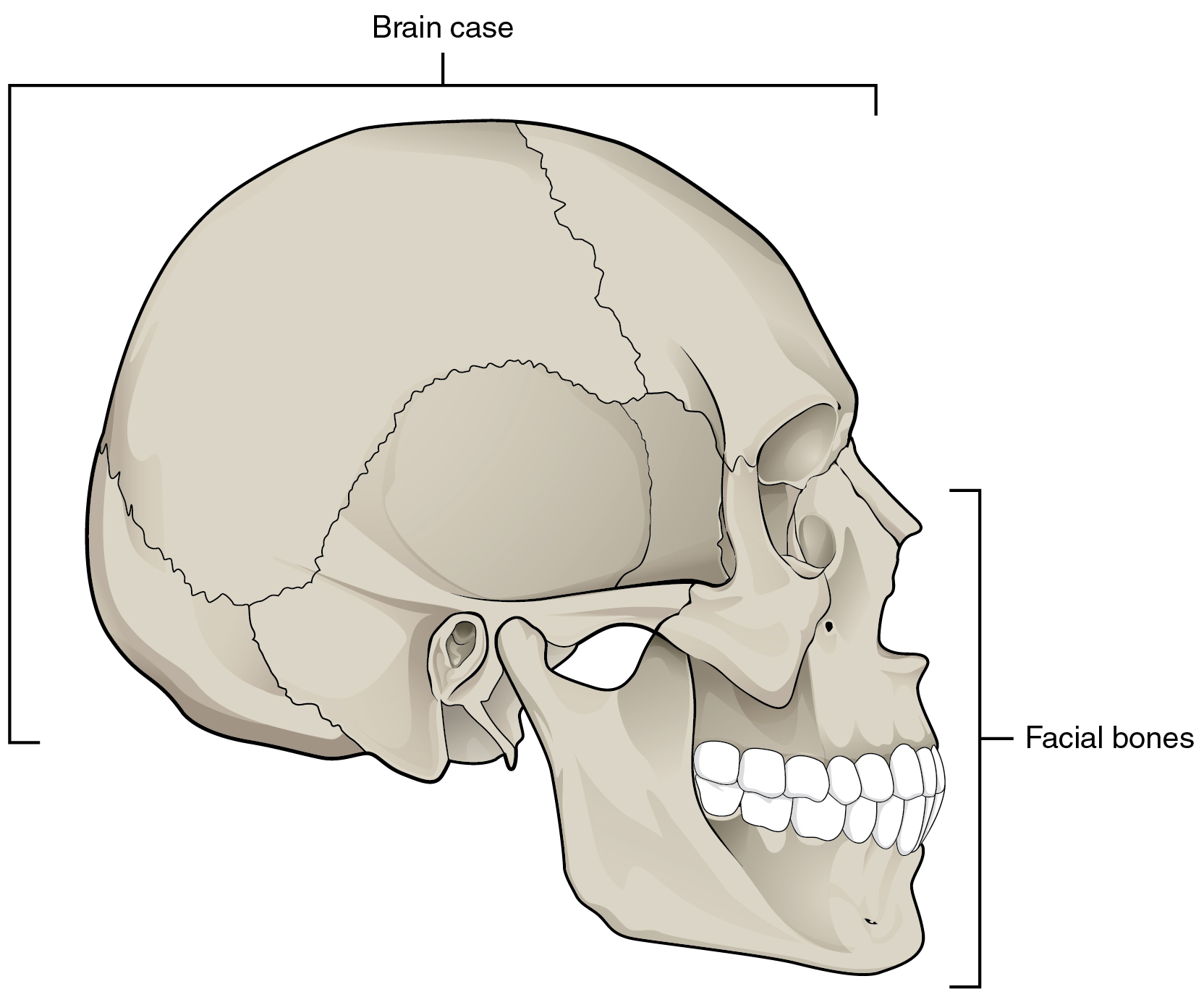 The Skull Human Anatomy Openstax Cnx