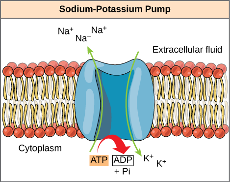 The sodium-potassium pump is an example of energy coupling