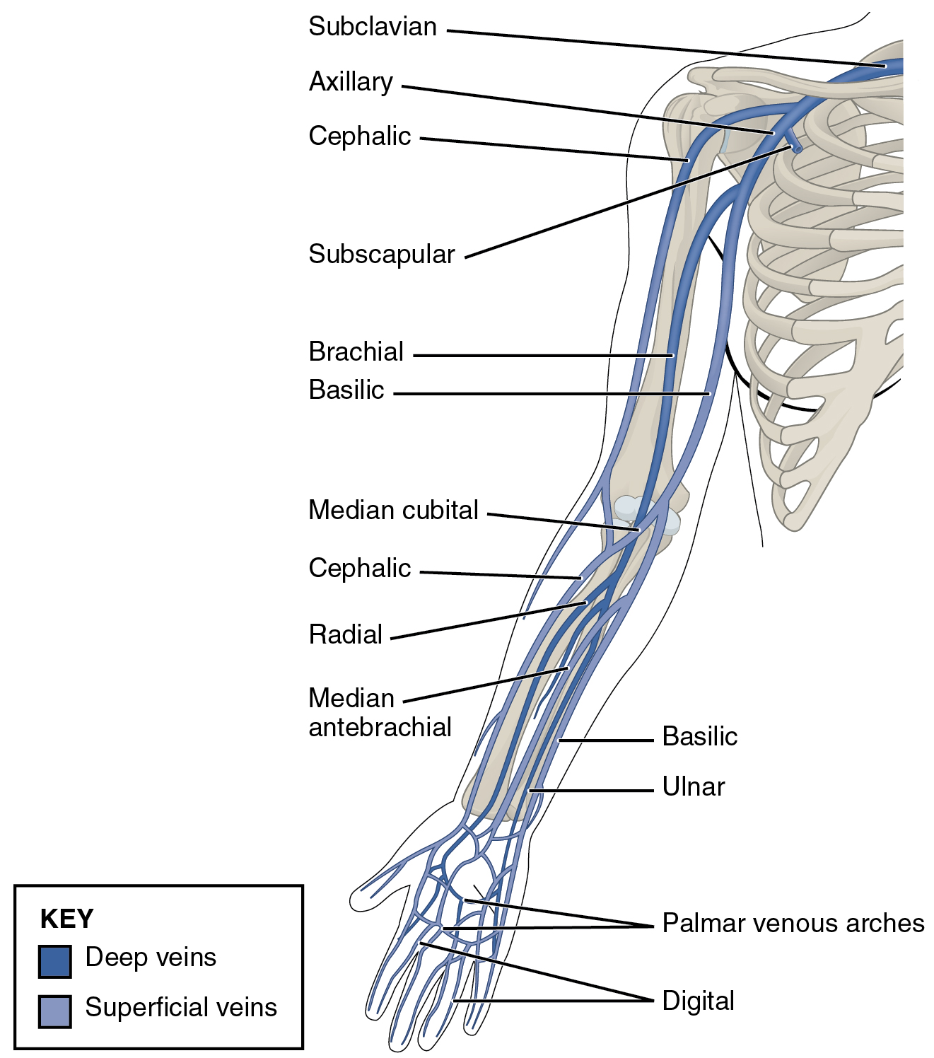This diagram shows the veins present in the upper limb.