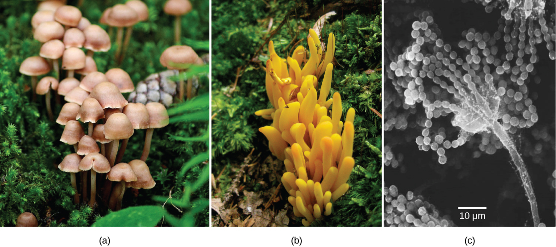 Left photo (a) shows a cluster of mushrooms with bell-like domes attached to slender stalks. Middle photo (b) shows a yellowish-orange fungus that grows in a cluster and is lobe-shaped. Right photo (c) is a micrograph that shows a long, slender stalk that branches into long chains of spores that look like a string of beads.