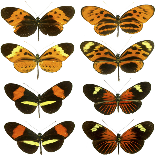 everal unpleasant-tasting Heliconius butterfly species share a similar color pattern with better-tasting varieties, an example of Müllerian mimicry.