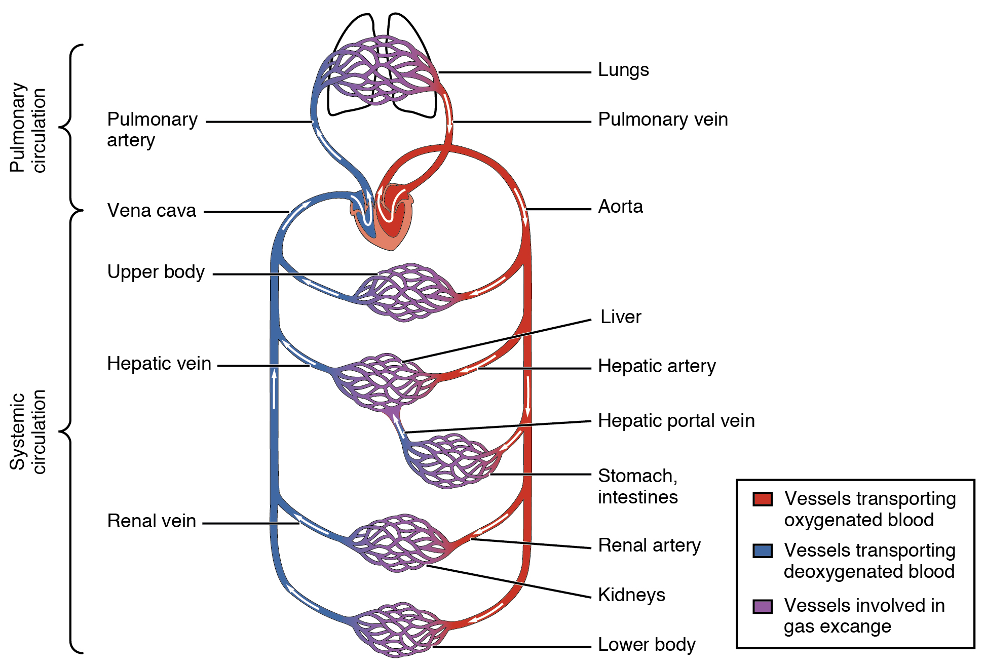 This diagram shows how oxygenated and deoxygenated blood flow through ...
