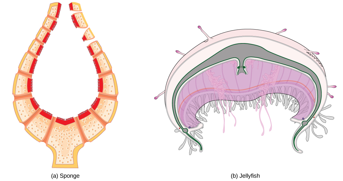 Illustration A shows a cross section of a sponge, which has a thin, vase-like body bathed both inside and out by fluid. Illustration B shows a bell-shaped jellyfish.