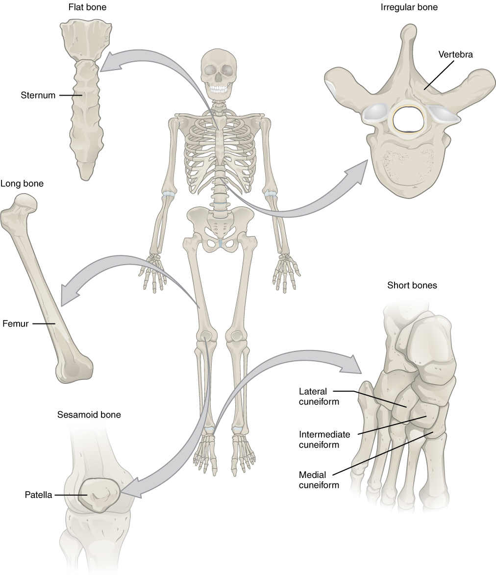 Bone Classification - My Derived Anatomy & Physiology Collection ...