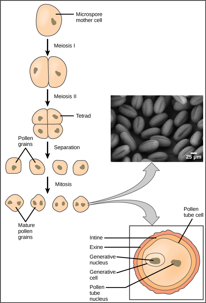 Pollen develops from the microspore mother cells