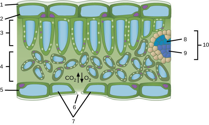 A leaf cross section illustration. A flat layer of rectangular cells make up the upper and lower epidermis, labelled 2 and 5 respectively. A cuticle layer protects the outside of both epidermal layers labelled 1. A stomatal pore, labelled 6, in the lower epidermis allows carbon dioxide to enter and oxygen to leave. Oval guard cells surround the pore, labelled 7. Sandwiched between the upper and lower epidermis is the mesophyll. The upper part of the mesophyll is comprised of columnar cells called palisade parenchyma, labelled 3. The lower part of the mesophyll is made up of loosely packed spongy parenchyma, labelled 4. A leaf vein is labelled 10. Inside the vein is the xylem, labelled 8, and the phloem, labelled 9.
