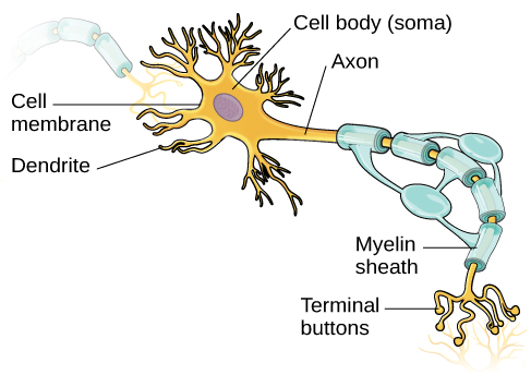 An illustration shows a neuron with labeled parts for the cell membrane, dendrite, cell body, axon, and terminal buttons. A myelin sheath covers part of the neuron.