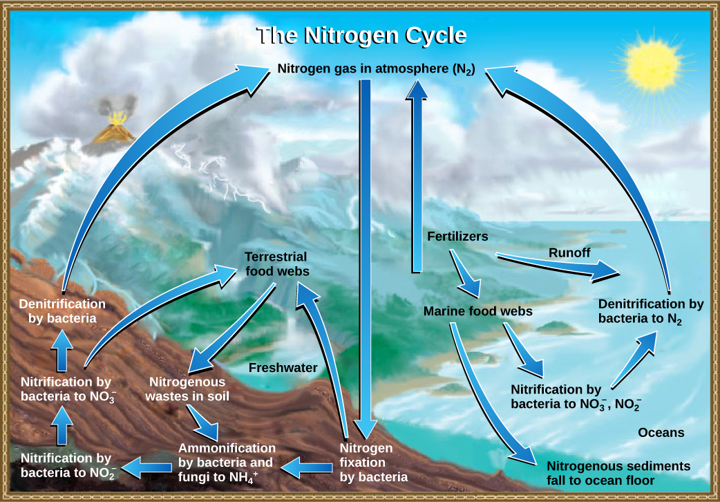 This illustration shows the nitrogen cycle. Nitrogen gas from the atmosphere is fixed into organic nitrogen by nitrogen-fixing bacteria. This organic nitrogen enters terrestrial food webs, and it leaves the food webs as nitrogenous wastes in the soil. Ammonification of this nitrogenous waste by bacteria and fungi in the soil converts the organic nitrogen to ammonium ion (NH4 plus). Ammonium is converted to nitrite (NO2 minus), then to nitrate (NO3 minus) by nitrifying bacteria. Denitrifying bacteria convert the nitrate back into nitrogen gas, which re-enters the atmosphere. Nitrogen from runoff and fertilizers enters the ocean, where it enters marine food webs. Some organic nitrogen falls to the ocean floor as sediment. Other organic nitrogen in the ocean is converted to nitrite and nitrate ions, which is then converted to nitrogen gas in a process analogous to the one that occurs on land.
