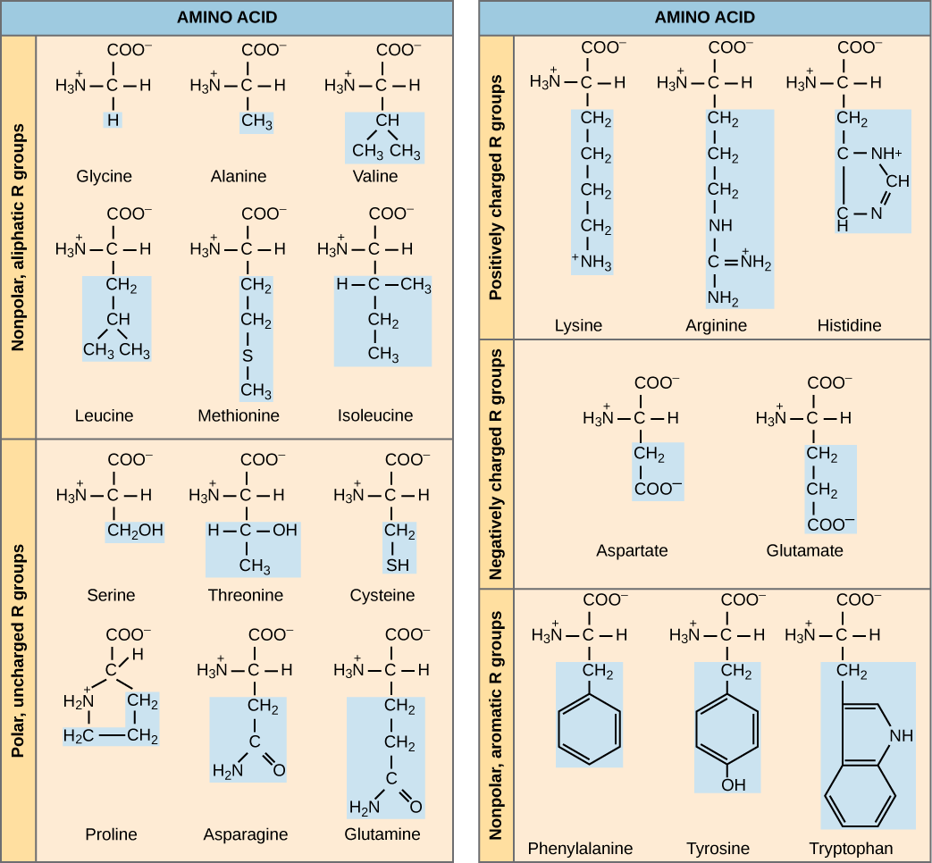 amino acids introduction to chemistry. Black Bedroom Furniture Sets. Home Design Ideas