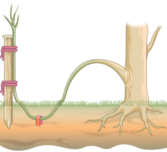In layering, a part of the stem is buried so that it forms a new plant.