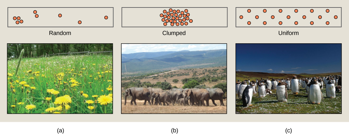 Photo (a) shows penguins, which maintain a defined territory and, therefore, have a uniform distribution. Photo (b) shows a field of dandelions whose seeds are dispersed by wind, resulting in a random distribution patter. Photo (c) shows elephants, which travel in herds resulting in a clumped distribution pattern.