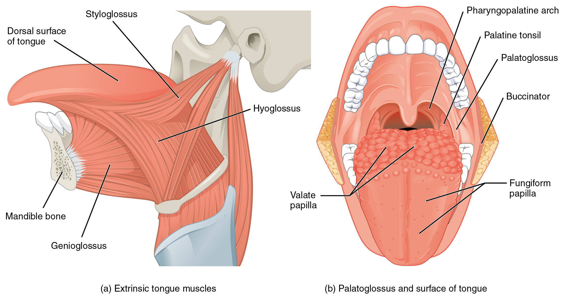 Axial muscles of the head neck and back muscles that move the tongue pooptronica Choice Image