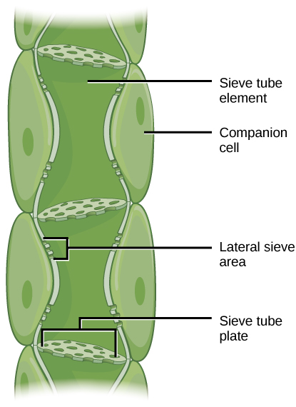 Illustration shows phloem, a column-like structure that is composed of stacks of cylindrical cells called sieve-tube elements. Each cell is separated by a sieve-tube plate. The sieve-tube plate has holes in it, like a slice of Swiss cheese. Lateral sieve areas on the side of the column allow different phloem tubes to interact.