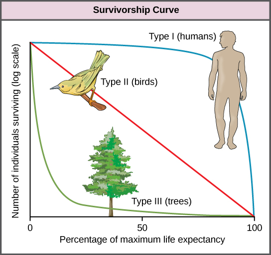 Survivorship curves show the distribution of individuals in a population according to age