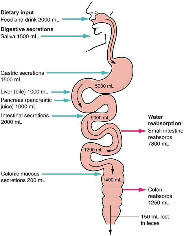 This image shows the human digestive system. Next to each organ, a text callout identifies how water and digestive secretions such as saliva and bile are processed.