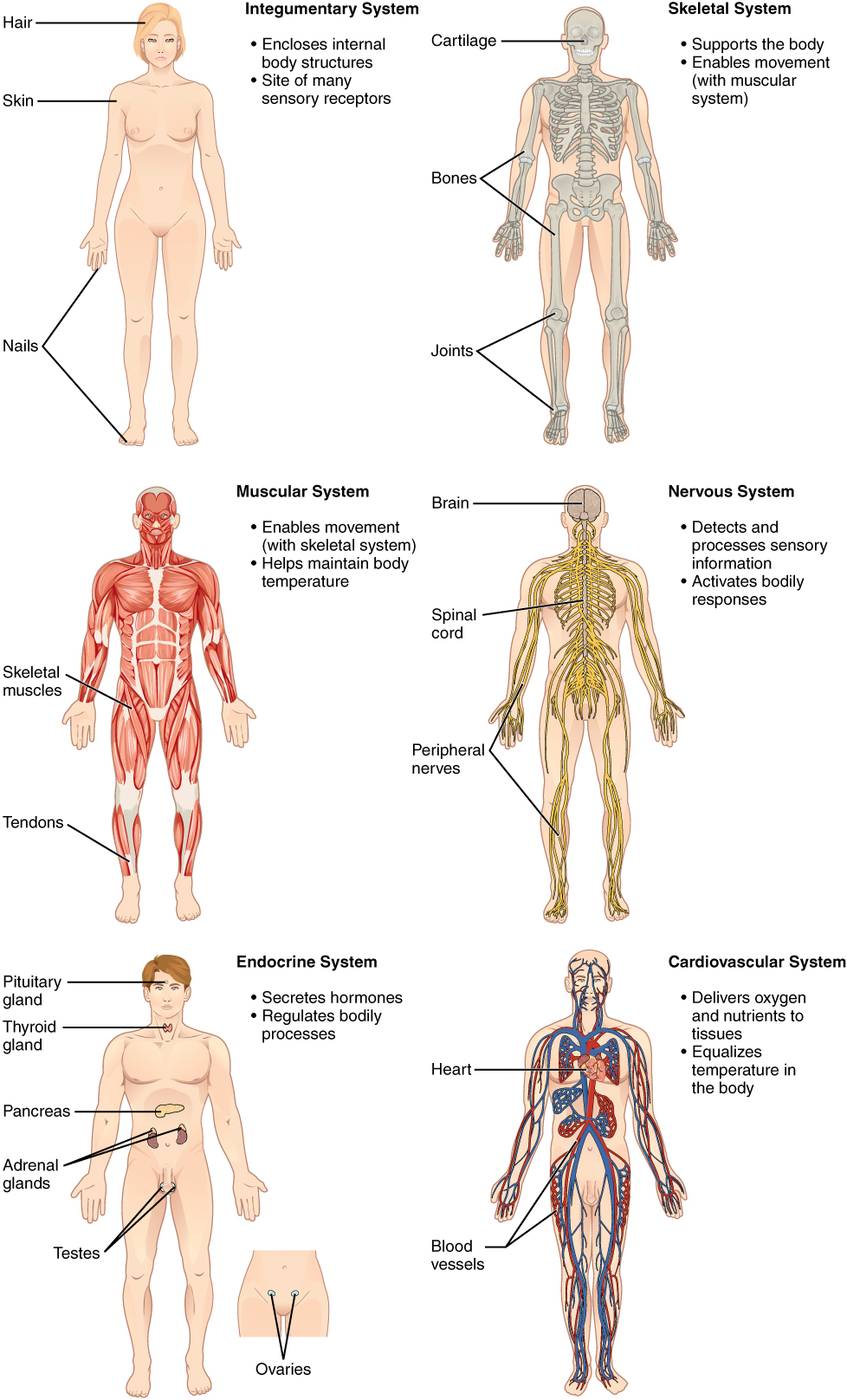 1.2 Structural Organization of the Human Body: Sanzin-Anatomy Honors ...