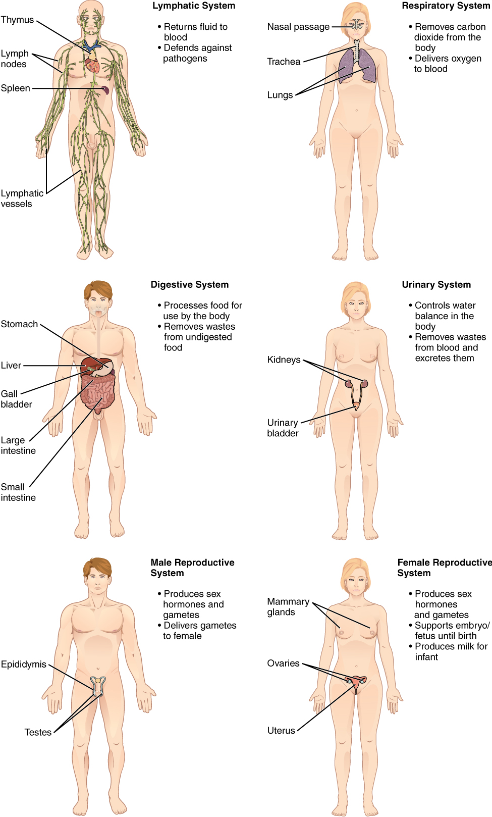 Structural Organization Of The Human Body Grade 11 Biology