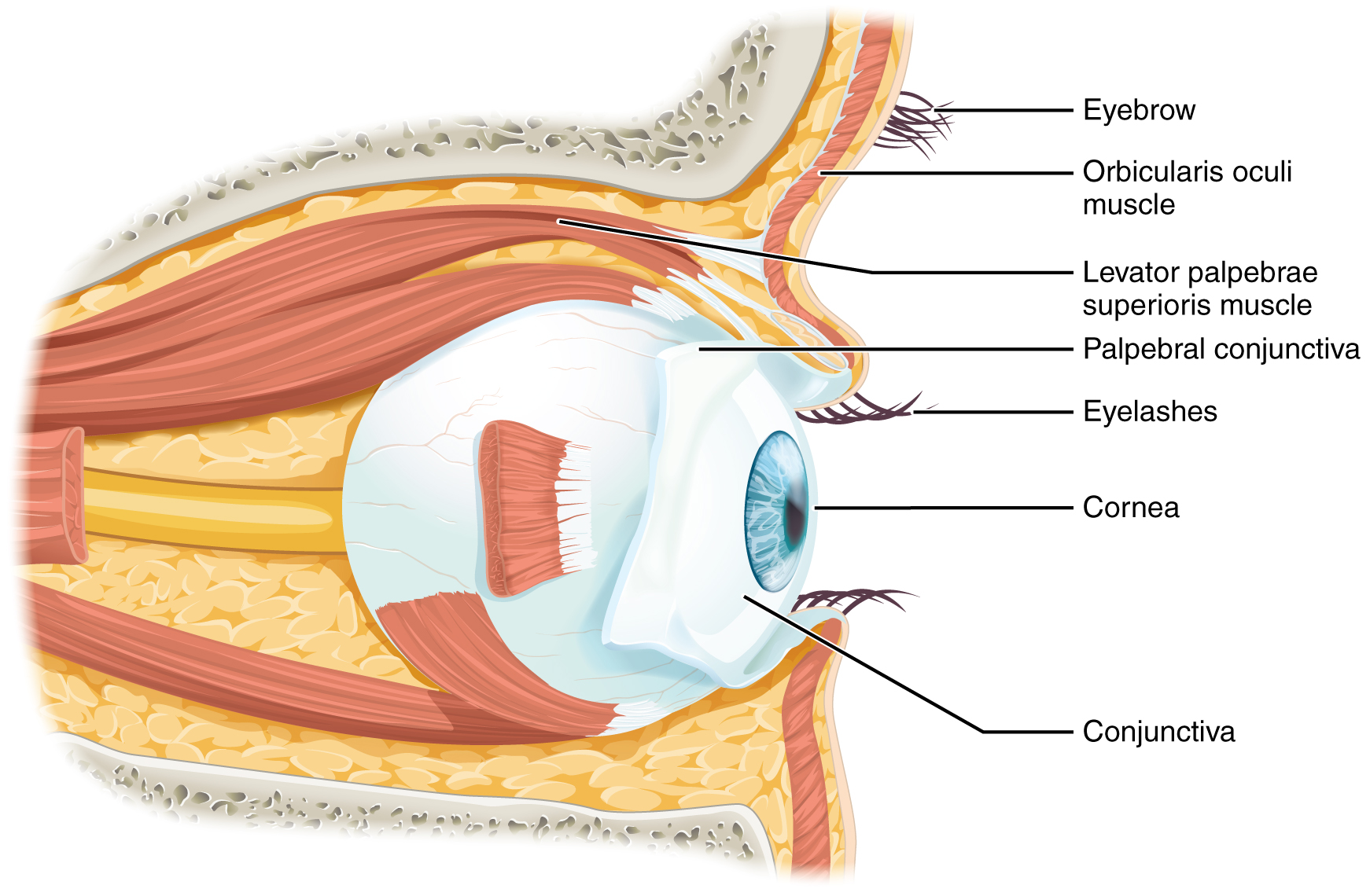 Special Senses Anatomy Of The Eye Oer Commons