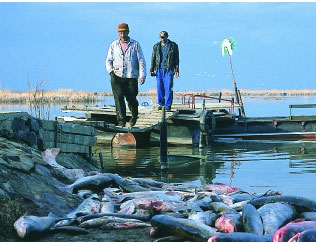 photograph of dead fish on the shores of Baia Mare