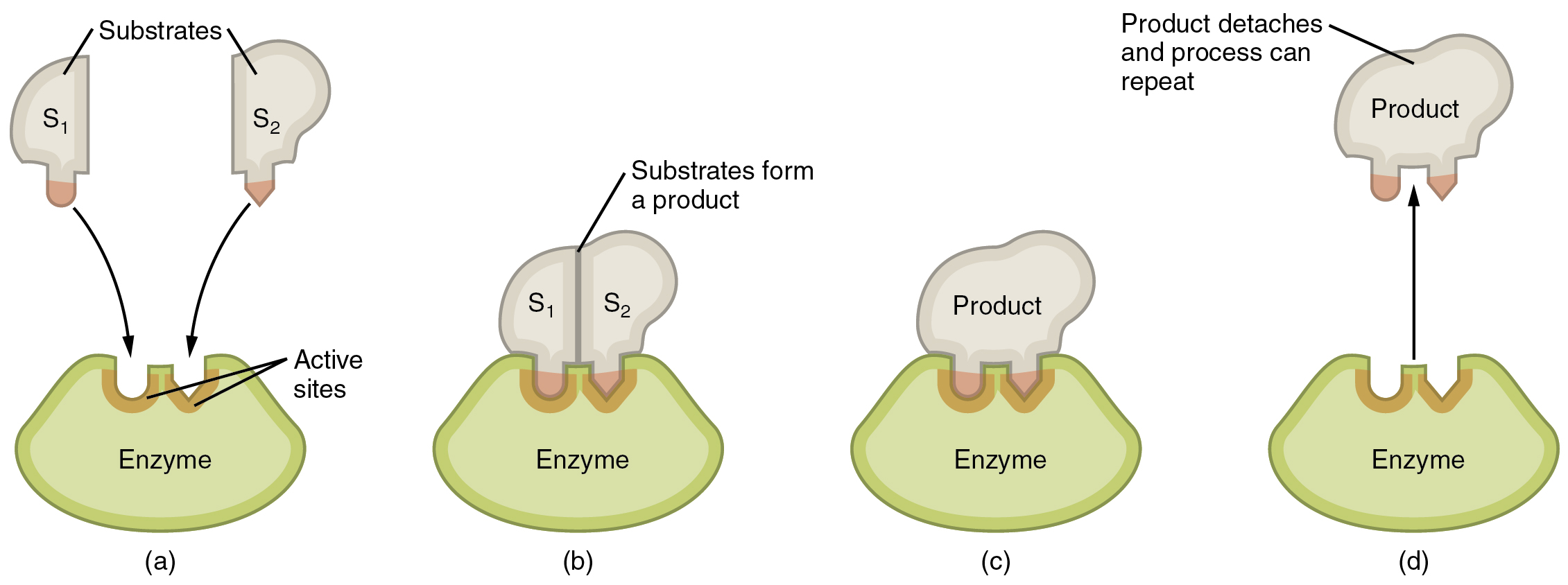 this image shows the steps in which an enzyme can act  the substrate is  shown