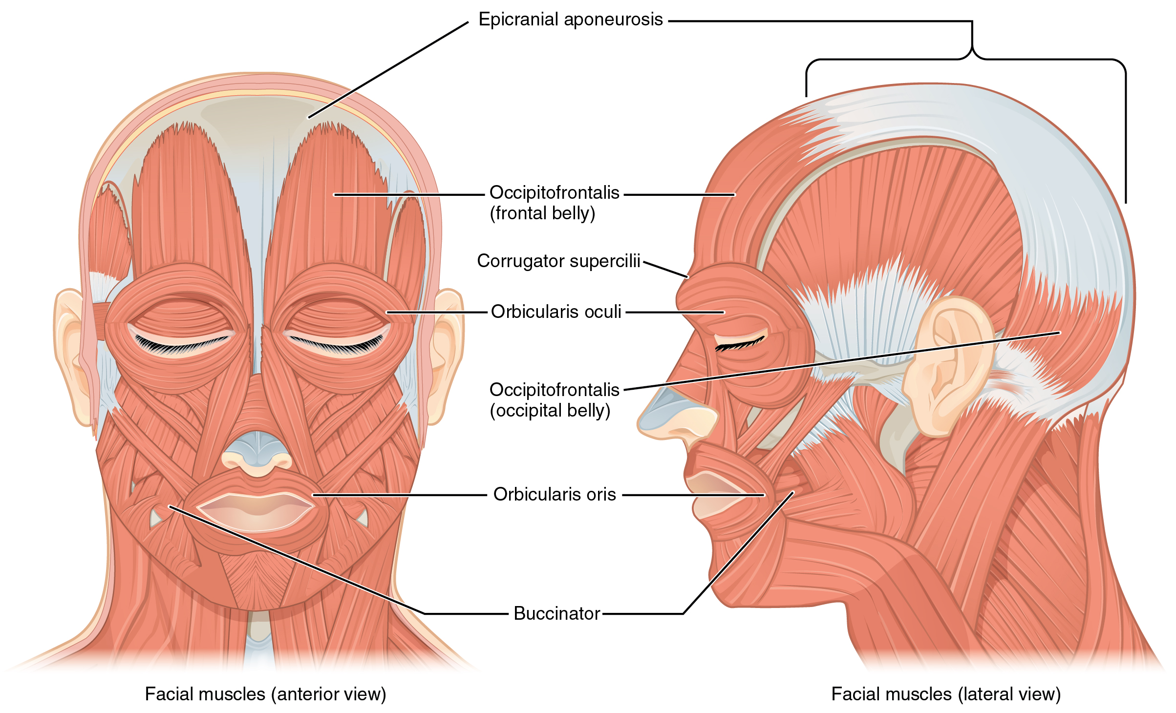 The muscles of the head and neck human anatomy and physiology lab located at httpscnxresources9b369a7466ec2ef44a97decc8de15593c7189e131106frontandsideviewsofthemusclesoffacialexpressionsg ccuart Gallery