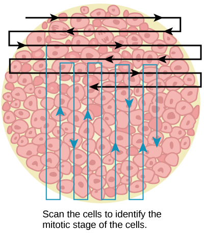 Slowly scan whitefish blastula cells with the high-power objective as illustrated in image (a) to identify their mitotic stage. (b) A microscopic image of the scanned cells is shown.