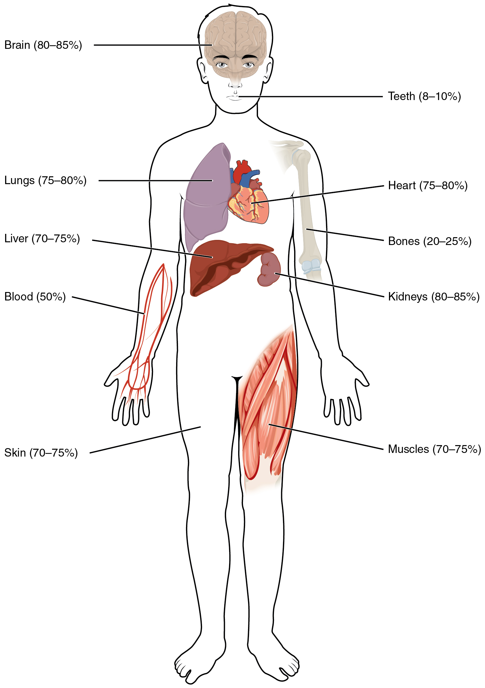 The Human Body Organs Labeled Water content of the body's