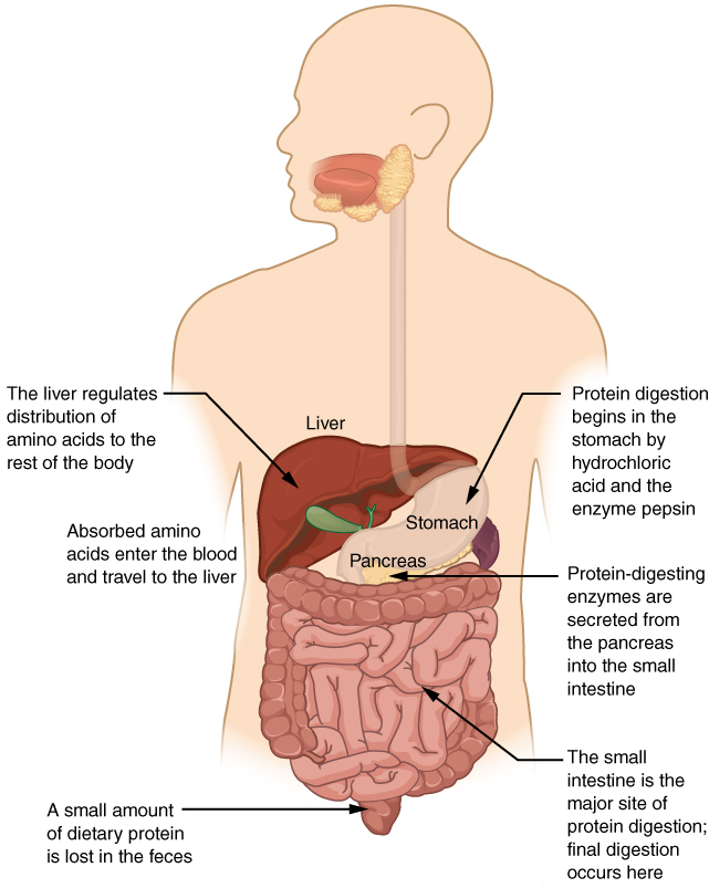 chemical digestion and absorption: a closer look, Cephalic Vein