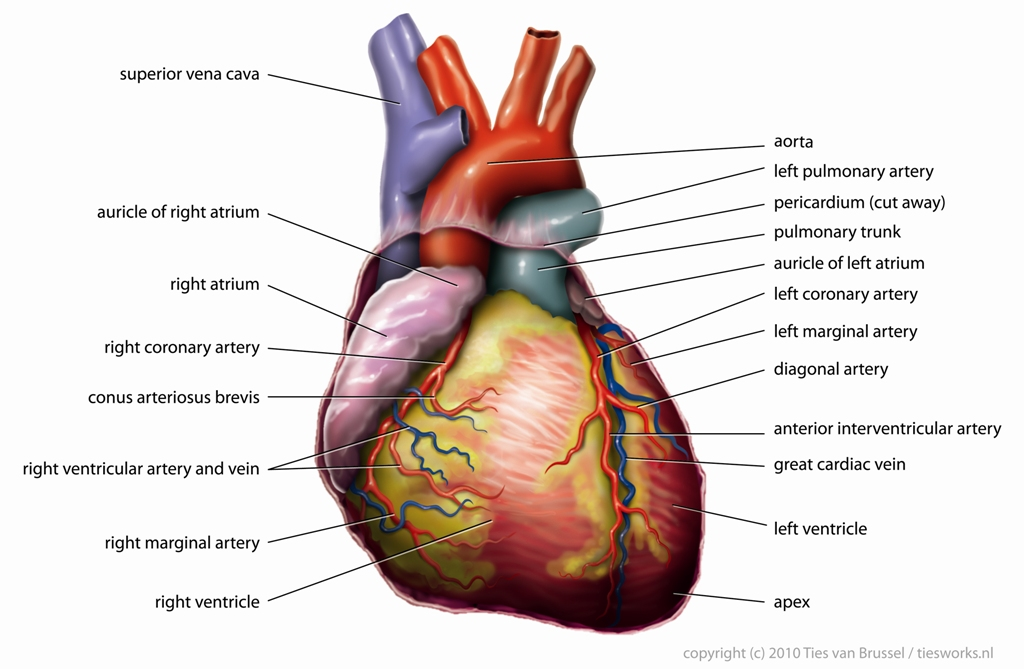 Pictures Of Blood Vessels In The Heart | picturespider.com