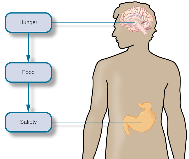 """An outline of the top half of a human body contains illustrations of the brain and the stomach in their relative locations. A line extends from the location of the hypothalamus in the brain illustration, out to the left, past the outline, where it meets a box labeled """"Hunger."""" Down-facing arrows connect that box to a box labeled """"Food,"""" and the box labeled """"Food"""" to a box labeled """"Satiety."""" A line extends out to the right from the box labeled """"Satiety,"""" and meets with the illustration of the stomach."""