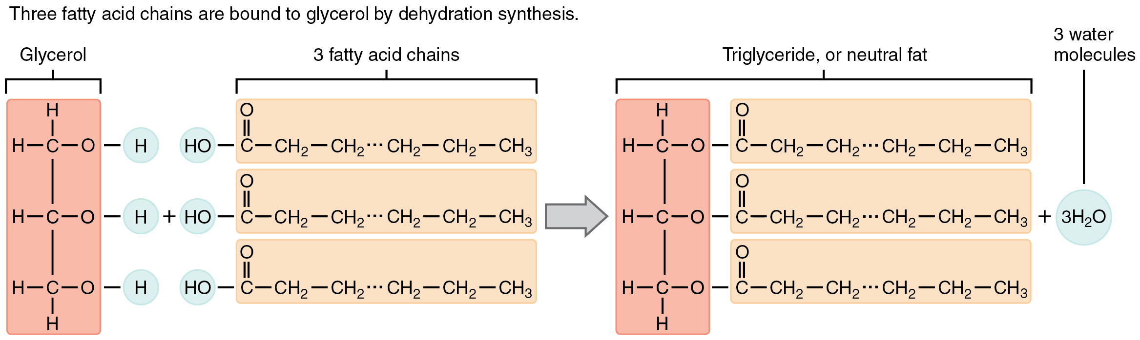 components needed to synthesise a triglyceride Butanone occurs as a natural product it is made by some trees and found in some fruits and vegetables in small amounts it is also released.