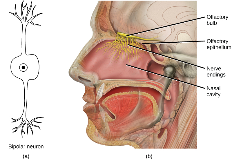 Taste And Olfaction Boundless Anatomy And Physiology