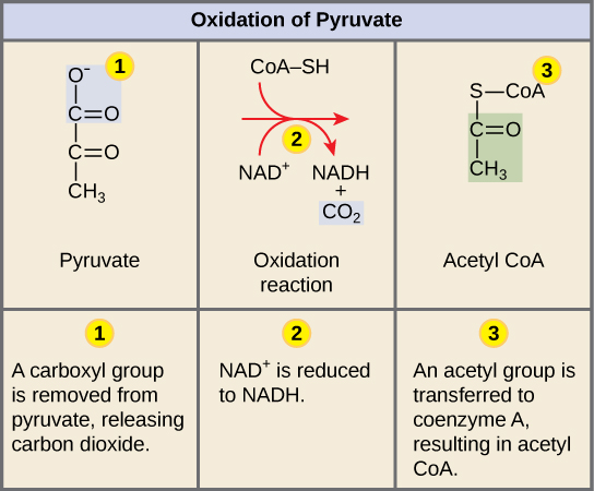 This illustration shows the three-step conversion of pyruvate into acetyl CoA. In step one, a carboxyl group is removed from pyruvate, releasing carbon dioxide. In step two, a redox reaction forms acetate and NADH. In step three, the acetate is transferred coenzyme A, forming acetyl CoA.
