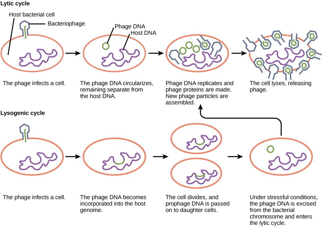 virus infections and hosts boundless biology virus life cycle license cc by attribution