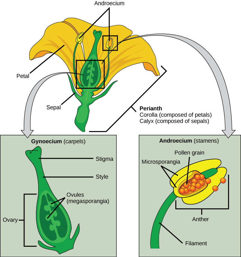 The four main parts of the flower are the calyx, corolla, androecium, and gynoecium
