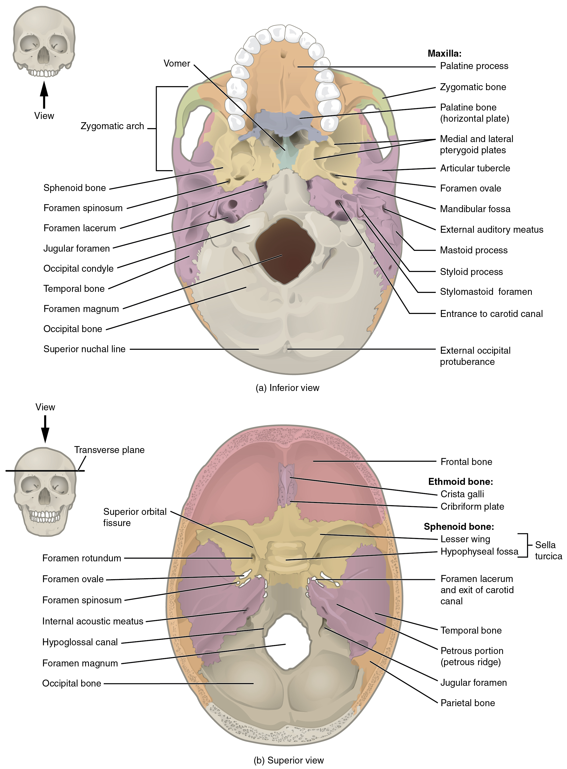 Interior Mastoid Bone Interior besides M46344 together with Know About Seizures In Children also Inferior Anatomy Of Skull also Paranasal Sinuses. on base of skull labeling exercise