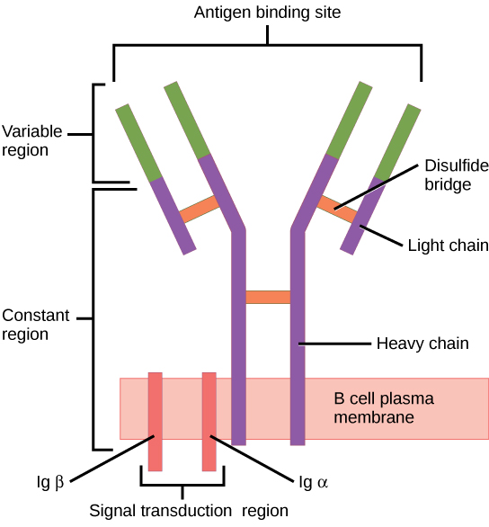 Illustration shows a B cell receptor that has two column-like subunits, called heavy chains, projecting up from the plasma membrane. Each column bends away from the other about halfway up, resulting in a Y-shaped structure. Two shorter subunits, called light chains, join the heavy chains after the bend. The upper portion of both the light and heavy chains is the variable region that makes up the antigen binding site. The bottom of both light and heavy chains forms the constant region. The signal transduction region consists of two proteins, Ig beta and Ig alpha, embedded in the plasma membrane, with projections on the cytoplasmic side.