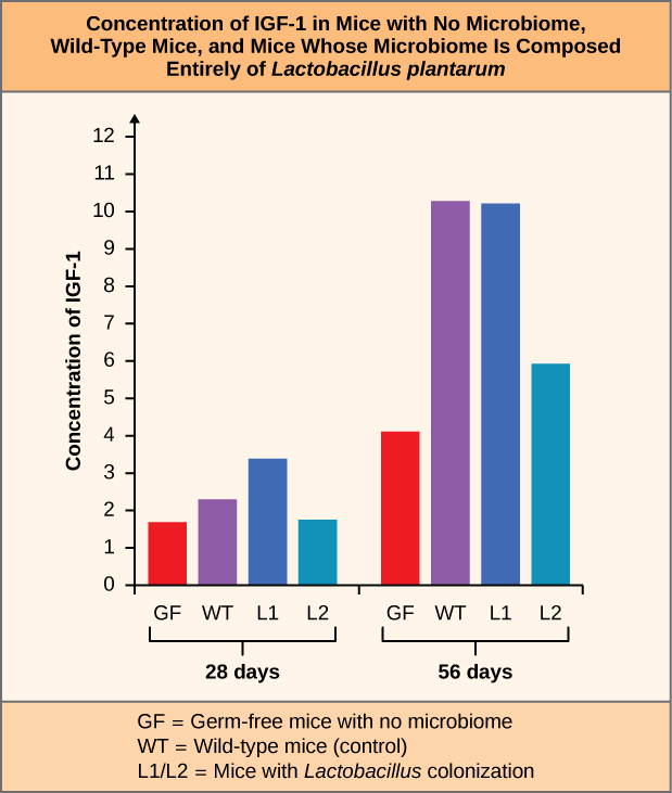 Bar graph labeled Concentration of IGF 1 in Mice with No Microbiome, Wild Type Mice, and Mice Whose Microbiome is Composed Entirely of Lactobacillus plantarum. The Y axis is labeled Concentration of IGF 1. X axis has labels for 28 days and 56 days. The key at the bottom labels the red bars GF for Germ free mice with no microbiome. The purple bars are labeled WT for Wild type mice (control). The dark blue bars are labeled L1. The light blue bars are labeled L2. L1 and L2 represent Mice with Lactobacillus colonization.