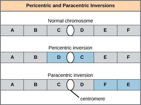 Pericentric inversions include the centromere, and paracentric inversions do not. A pericentric inversion can change the relative lengths of the chromosome arms; a paracentric inversion cannot.