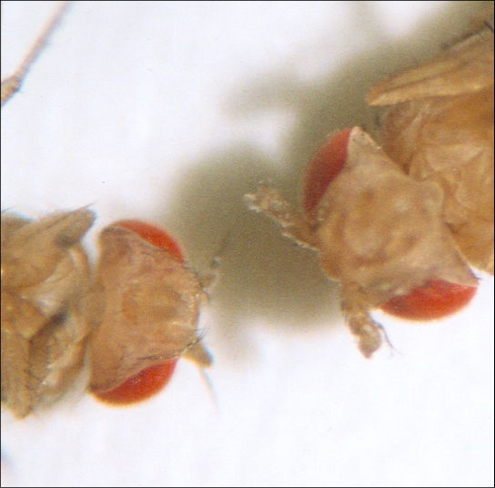 As seen in comparing the wild-type Drosophila (left) and the Antennapedia mutant (right), the Antennapedia mutant has legs on its head in place of antennae.