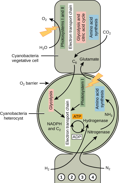 A diagram illustrating nitrogen fixation in heterocysts. Cyanobacteria heterocyst has paired with a vegetative cell. The nitrogenase complex converts the nitrogen in N 2 into ammonia. ATP is synthesized in the heterocysts by photophosphorylation.