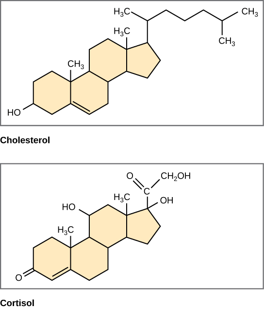 The structures of cholesterol and cortisol are shown. Each of these molecules is composed of three six-carbon rings fused to a five-carbon ring. Cholesterol has a branched hydrocarbon attached to the five-carbon ring, and a hydroxyl group attached to the terminal six-carbon ring. Cortisol has a two-carbon chain modified with a double-bonded oxygen, a hydroxyl group attached to the five-carbon ring, and an oxygen double-bonded to the terminal six-carbon ring.