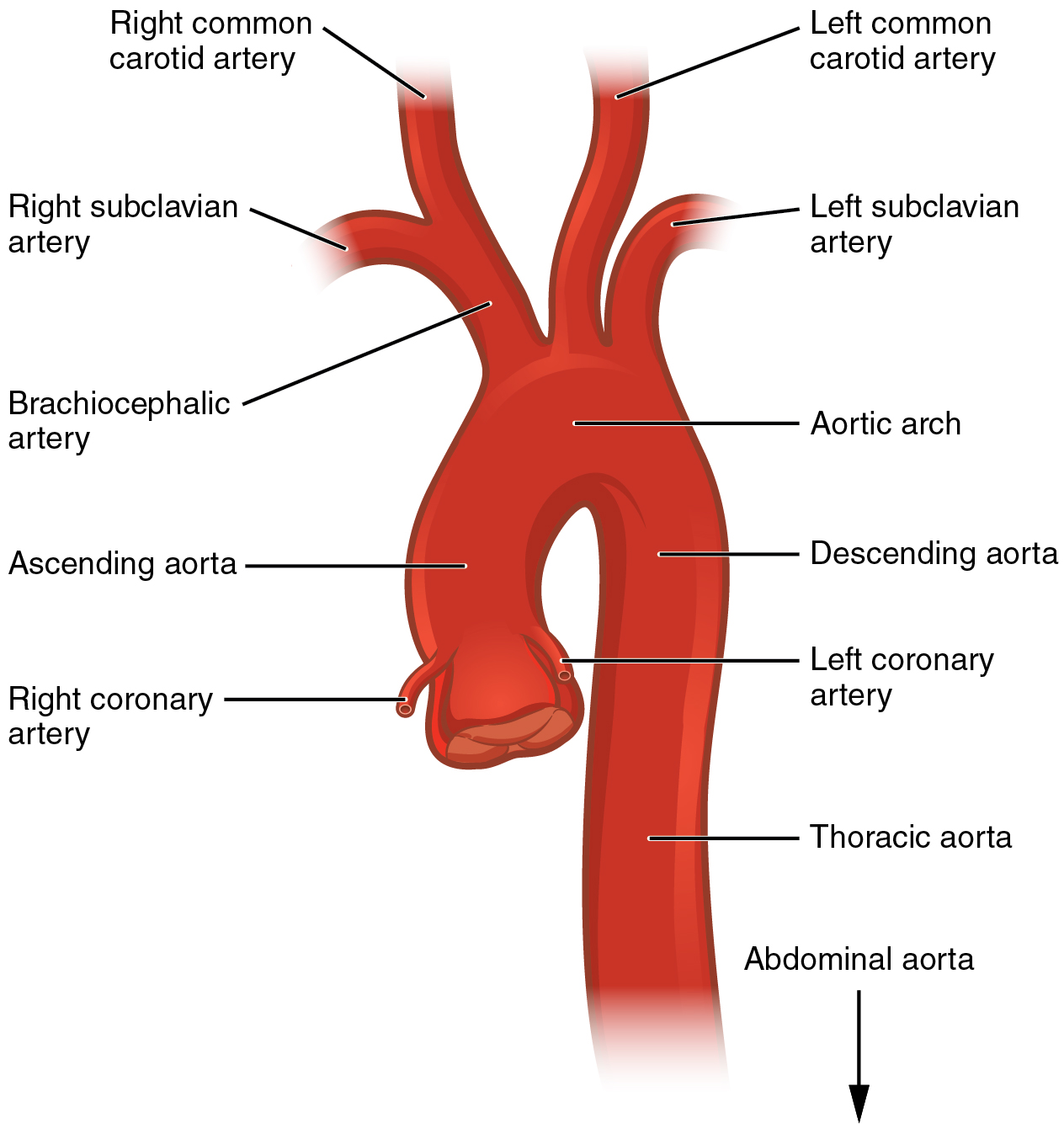 This diagram shows the aorta and the major parts are labeled.