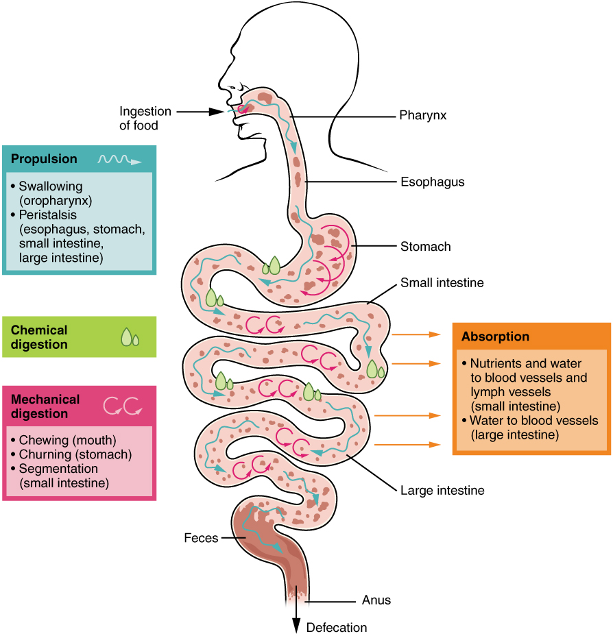digestive system processes and regulation, Human Body
