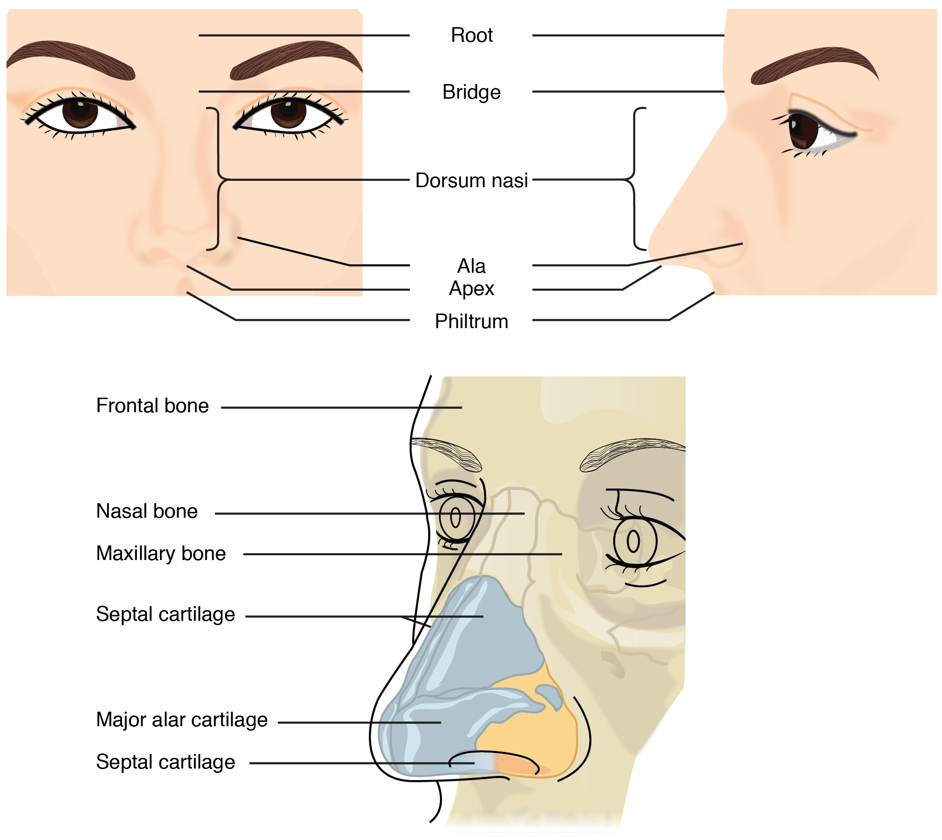 diagram of cat nasal bridge - simple wiring diagram