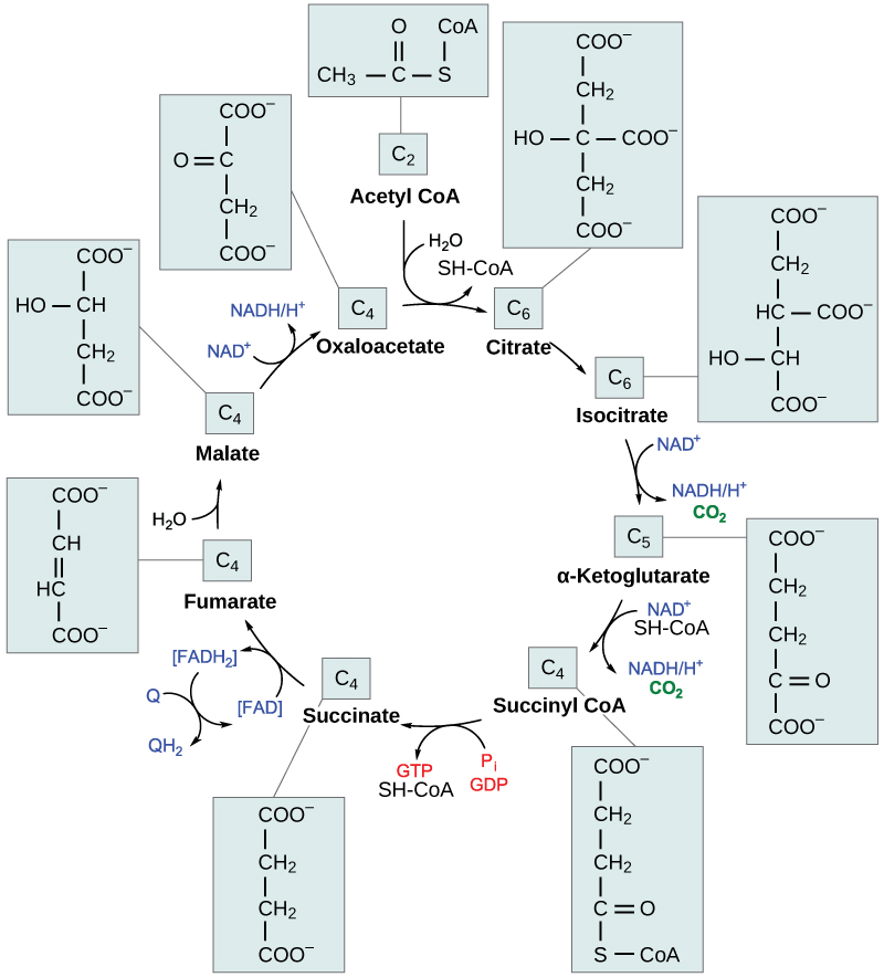 Citric Acid Cycle Products in The Citric Acid Cycle