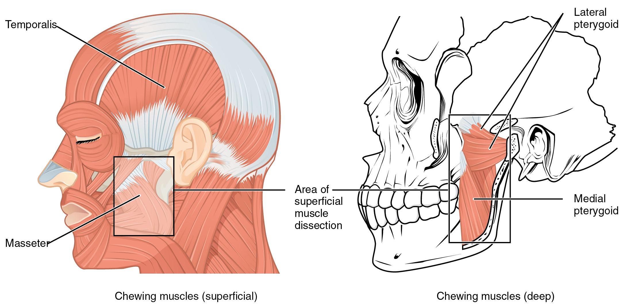 Axial muscles of the head neck and back muscles that move the lower jaw pooptronica Choice Image