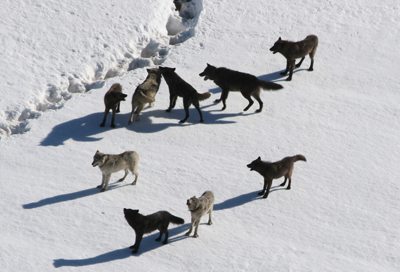 Photo shows a pack of wolves walking on snow.